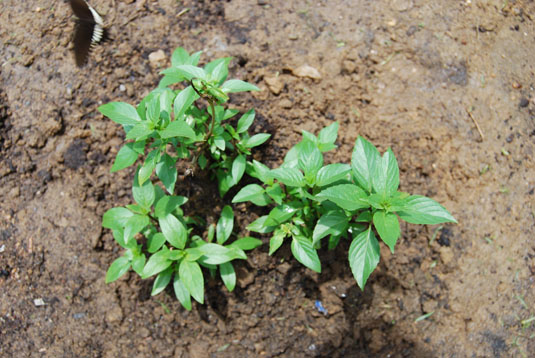 herbs-garden0005house.jpg