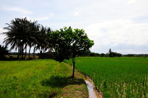 Organic Paddy Field_0063